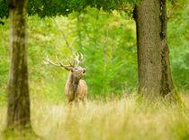 Roaring red deer by Andy-Kim Möller