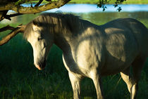 Scraping horse in warm light by Andy-Kim Möller