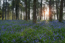 Sunlit Bluebell Woods by David Tinsley