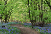 Beech and Bluebell Walk von David Tinsley
