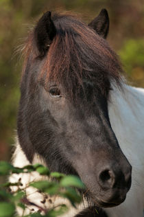 Icelandic horse portrait 2 by Andy-Kim Möller