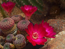 Kaktusblüte,rot, makro, rebutia heliosa, red blossom of cactus, macrophotography by Dagmar Laimgruber