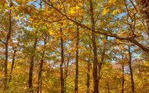 Maple Leaf Oaks Changing Color by John Bailey