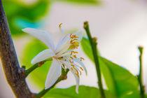 Blüte einer Zitrone von Dennis Stracke