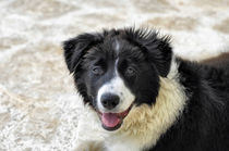 Border Collie von Heike Loos