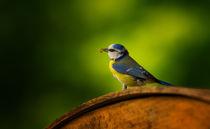 Blaumeise by photoart-hartmann