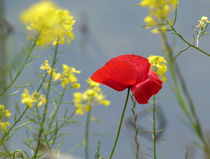 poppy and more by Franziska Rullert