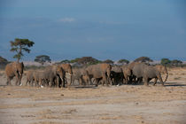 African elephants in Amboseli National Park in Kenya by Wolfgang Kaehler