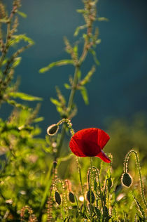 Sunset and the poppies von Maria Livia Chiorean