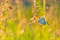 Blue butterfly von Maria Livia Chiorean