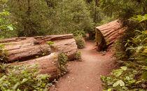 Redwoods-304a