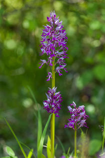 Helm-Knabenkraut (Orchis militaris) by Walter Layher