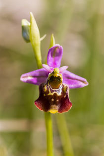 Hummel-Ragwurz (Ophrys holoserica) by Walter Layher