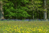 Buttercups & Bluebells by David Tinsley