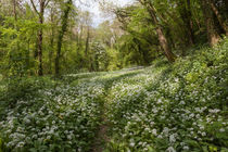 Path through the Wild Garlic by David Tinsley