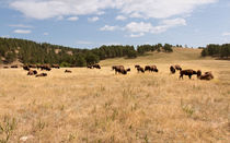 Bison Grazing by John Bailey