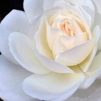 heart of cream by sebastiano secondi