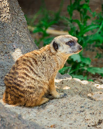 Watchful Meerkat Vertical by Jon Woodhams