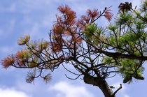 Nadelbaum von fotolos
