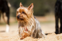 Young Yorkshire Terrier dog  by Arpad Radoczy