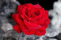 Rote-rose-001-6000b-4