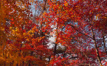 Trees Of Fire At Cloudland Canyon by John Bailey
