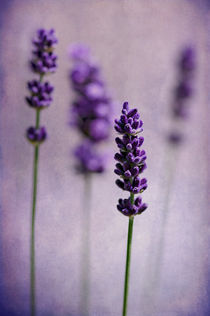 Lavenders by Barbara Corvino