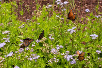 Monarch-butterfly-landing