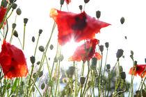 Poppyfield by Jens Uhlenbusch