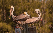 Pelicans On Watch by John Bailey