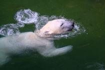 Eisbär (Ursus maritimus) / Polar bear von Marcus Skupin