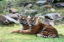 Sumatra-Tiger (Panthera tigris sumatrae) by Marcus Skupin