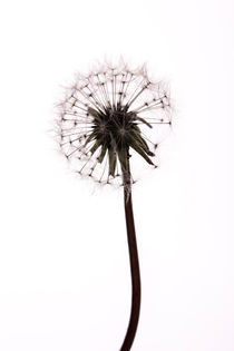 Dandelion by John Barratt