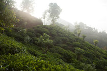 Tea fields von Karen Cowled