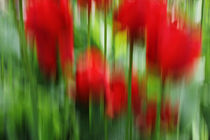 Tulpenwisch von maremarie