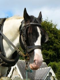 Irish Cob by gscheffbuch