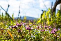 Spring in the vineyard von Jörg Sobottka