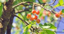 Cherries von Leopold Brix