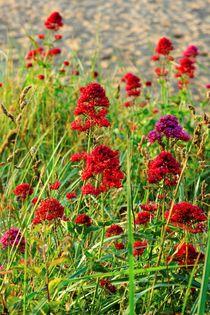 Rote Spornblume by gscheffbuch