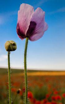 Purple-poppy