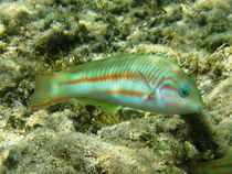 Pinkface or fivestripe wrasse (Thalassoma quinquevittatum) by Christopher Jöst