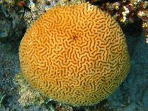 Platygyra-sinensis-nb-cj