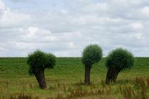 3 Weiden auf dem Deich by Bastian  Kienitz