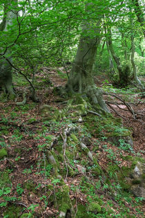 Beech Roots by David Tinsley
