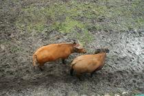 buffalos#2 by Ka Terra