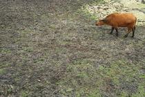 buffalo#3 by Ka Terra