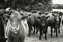 Tennessee Cattle von Jon Woodhams