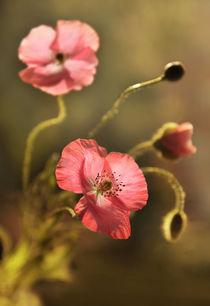 Morning Poppies by Jarek Blaminsky
