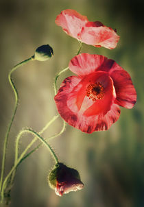 Pink-red poppies by Jarek Blaminsky