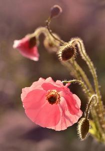 Pink pastel poppy by Jarek Blaminsky